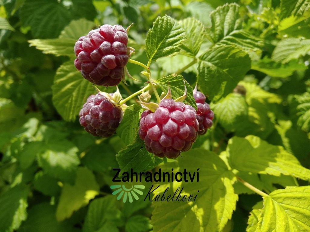 Malinoostružina fialová - Rubus hybridus 'Glen Coe'
