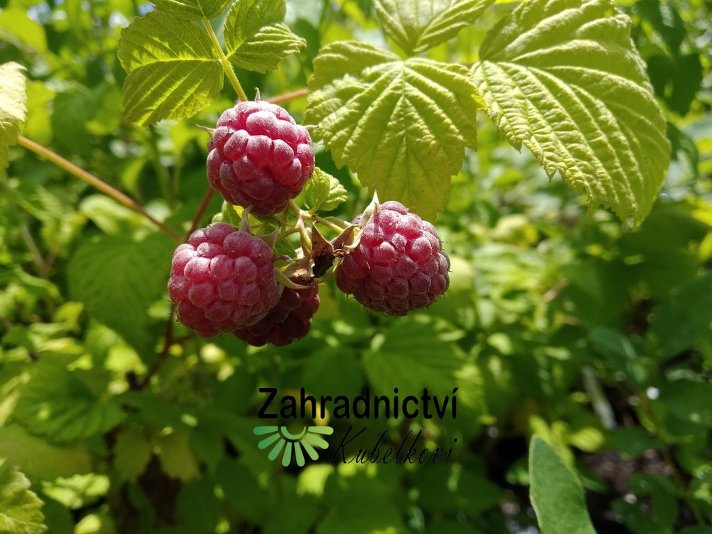 Malinoostružina - Rubus hybridus 'Glen Coe'