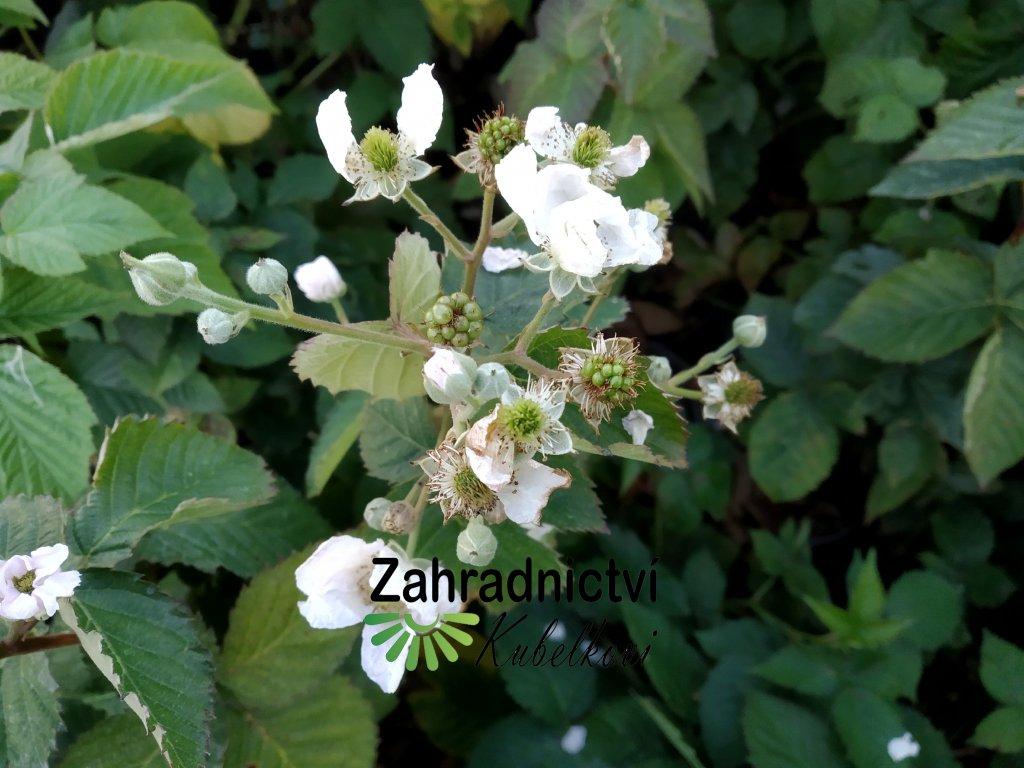 Ostružina zakrslá (beztrnná) - Rubus fruticosus 'Little black prince'