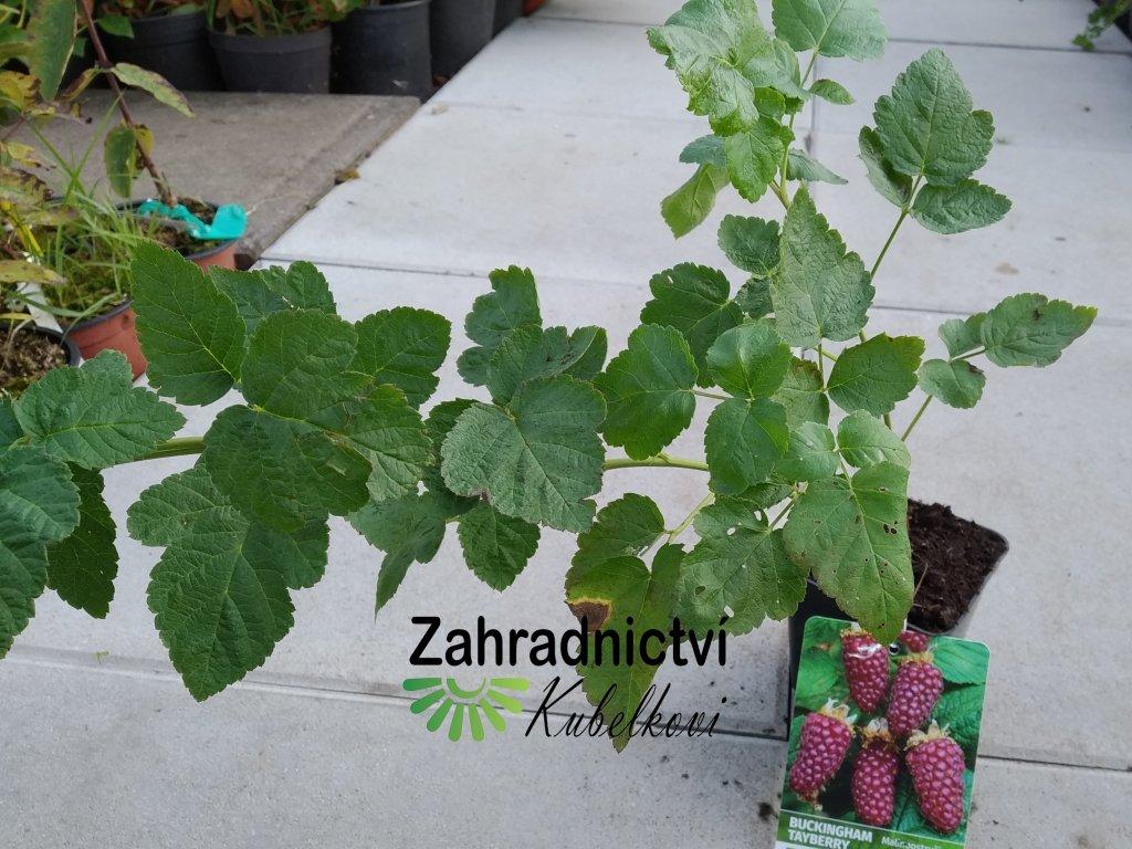 Malinoostružina - Rubus hybridus 'Tayberry Buckingham'
