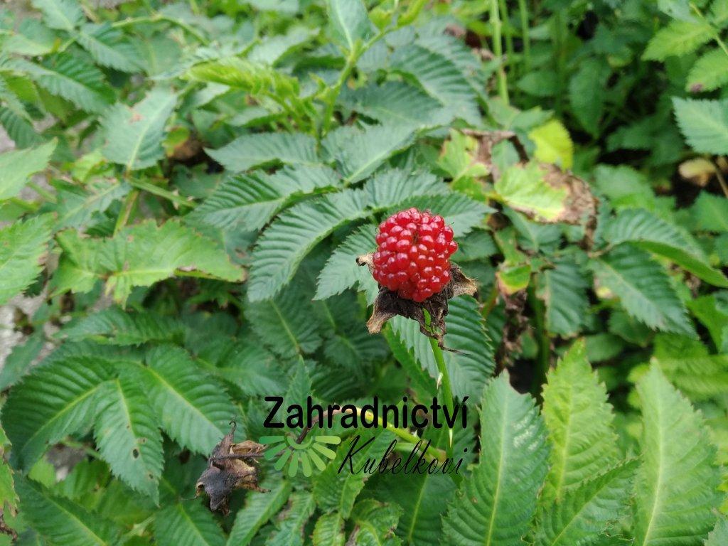 Malinojahoda - Rubus illecebrosus
