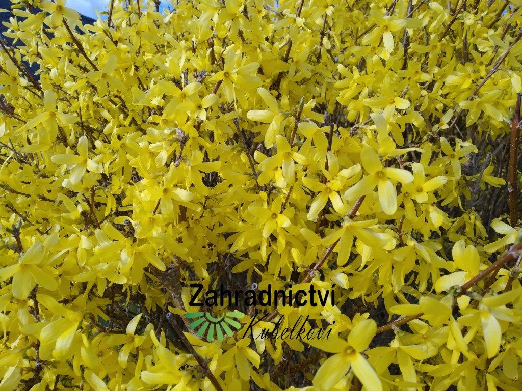 Zlatice panašovaná - Forsythia x intermedia Variegata
