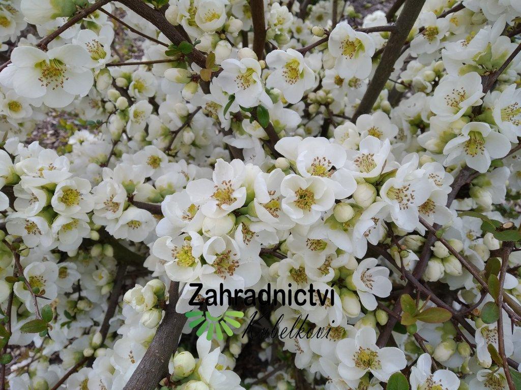 Kdoulovec bílý - Chaenomeles japonica