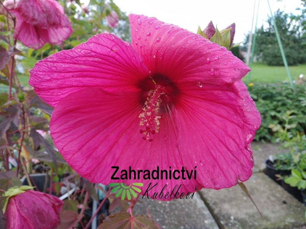 Ibišek americký - Hibiscus moscheutos 'Planet Griotte Tangri'
