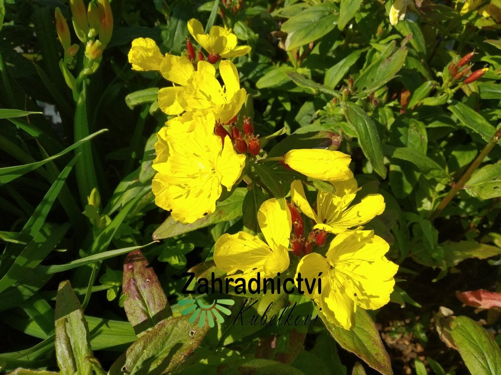 Pupalka - Oenothera pilosella 'Yella Fella'