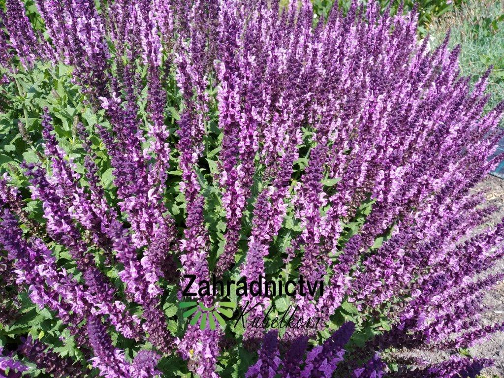 Šalvěj hajní - Salvia memorosa