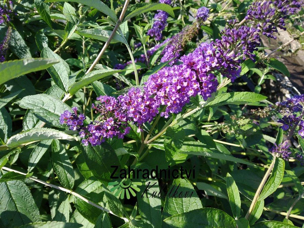 Motýlí keř - Buddleia davidii 'Empire Blue' 2 l