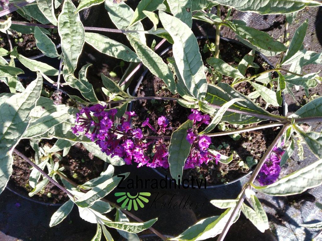 Motýlí keř - Buddleia davidii 'Harlequin' 2 l