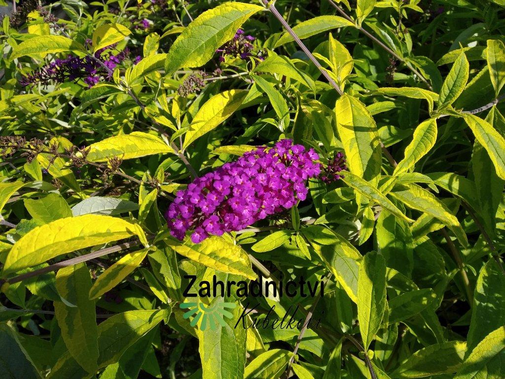 Motýlí keř - Buddleia davidii 'Santana' 2 l