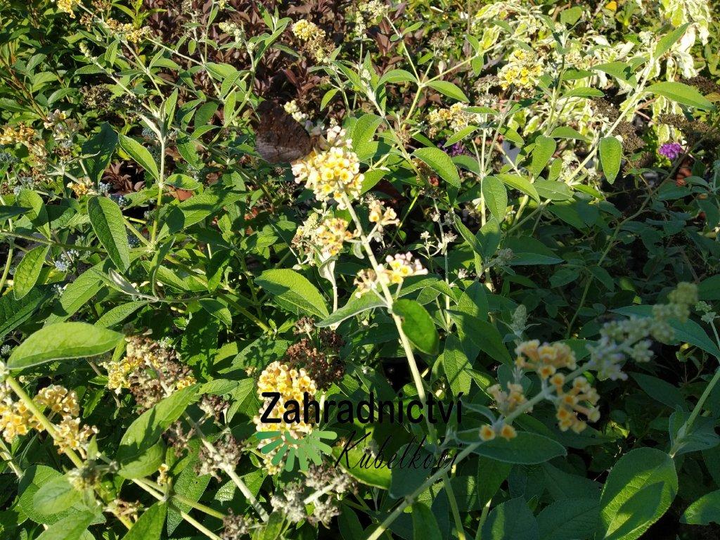 Motýlí keř - Buddleia weyeriana 'Sungold'