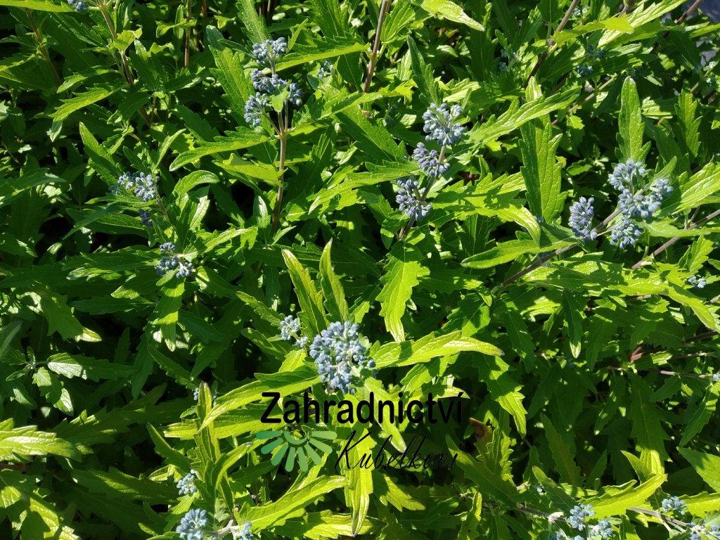 Ořechokřídlec clandonský 'Blue Balon' - Caryopteris clandonensis 'Blue Balon'
