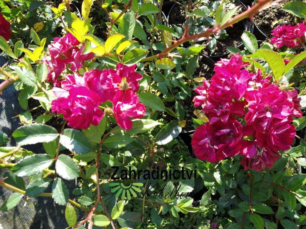 Růže pokryvná - Rosa 'Alberich'