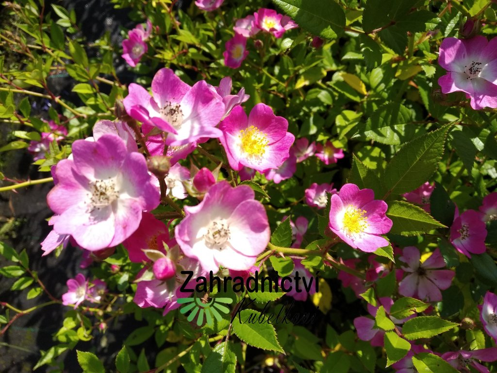 Růže pokryvná - Rosa 'Max Graf'