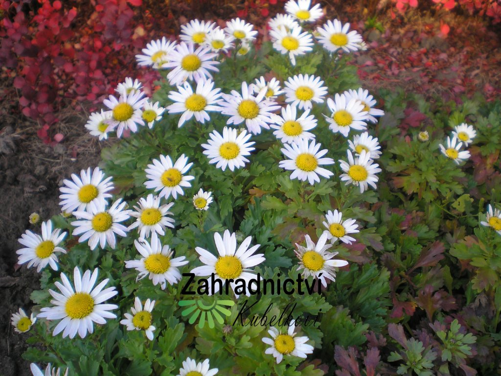 Chrysanthemum W.