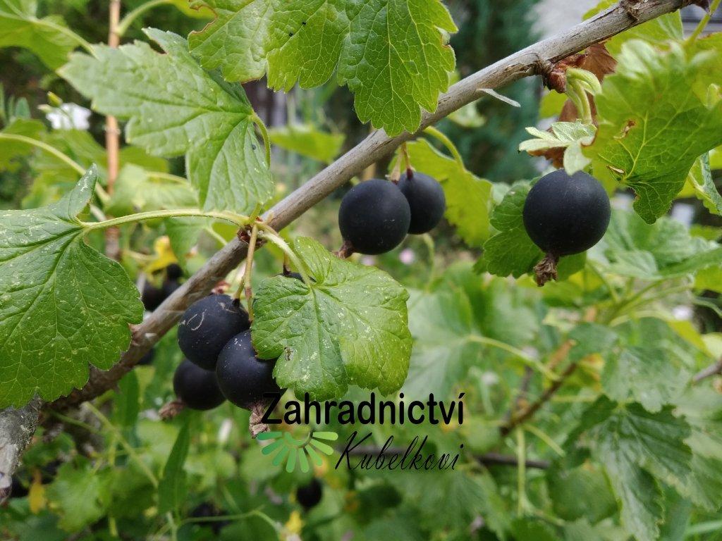 Josta - Ribes nidigrolaria - stromek PROSTOKOŘENÝ