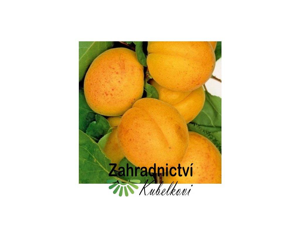 Meruňka Oranžová2