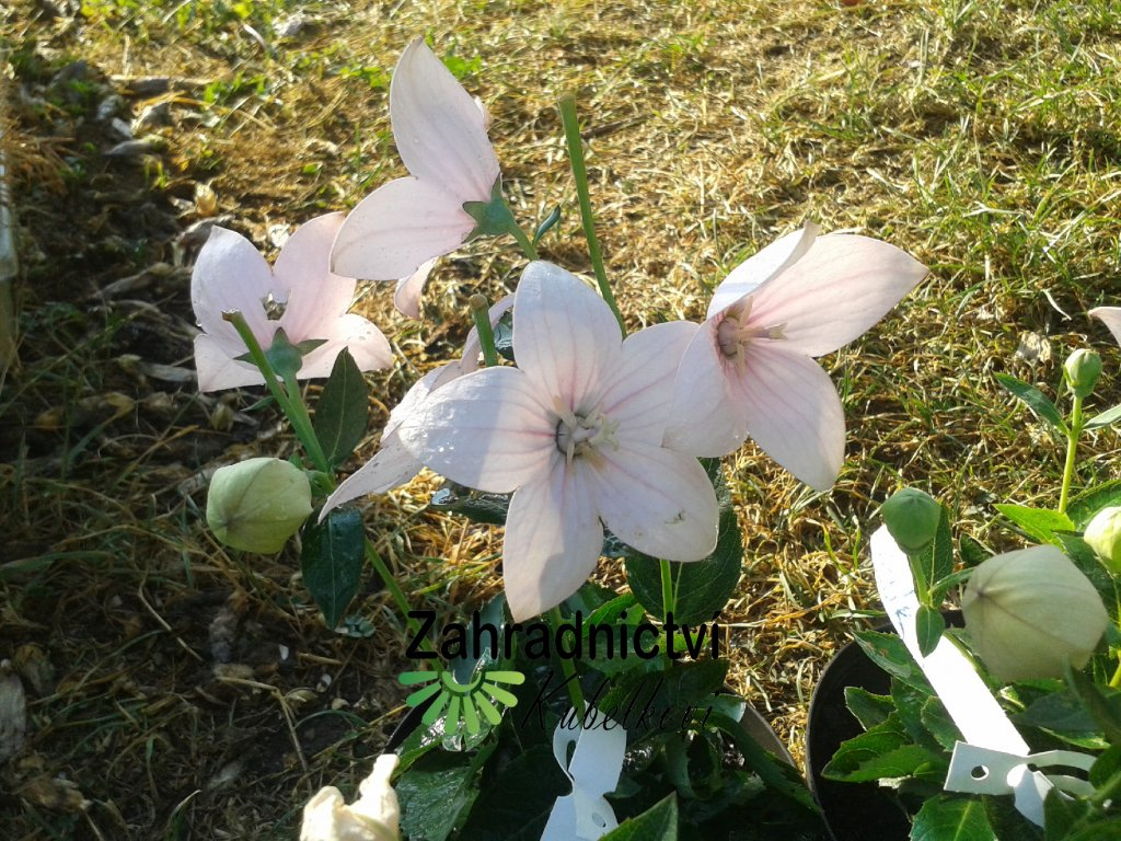 Boubelík bílý - Platycodon grandiflorus 'Astra White'