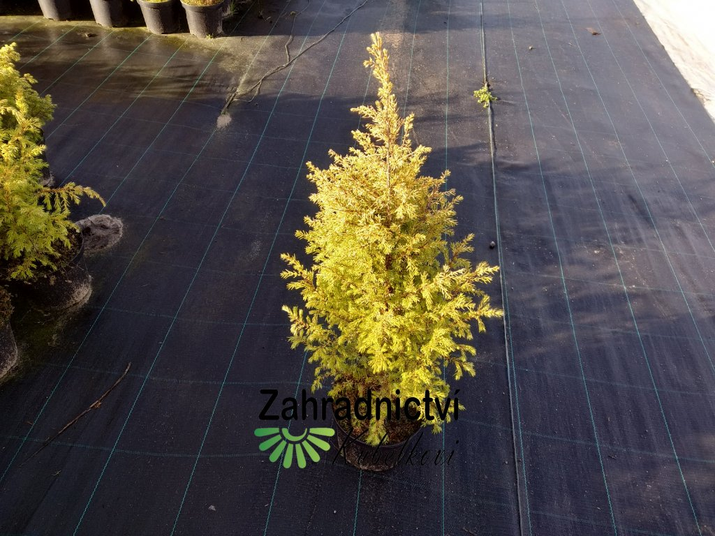 Jalovec obecný - Juniperus communis 'Gold Cone' 2 l