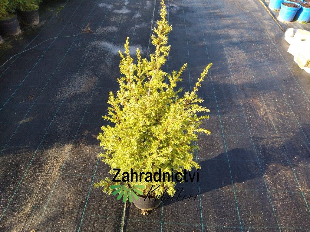 Jalovec obecný - Juniperus communis 'Hibernica' 2 l