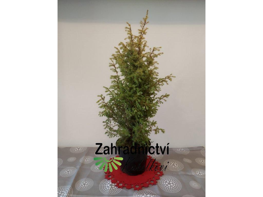 Vánoční dekorace - Jalovec obecný žlutopestrý