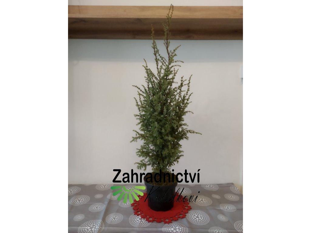 Vánoční dekorace - Jalovec obecný zelenomodrý