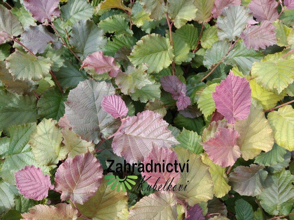 Líska červenolistá - Corylus avellana 'Red Zeller' - prostokořená