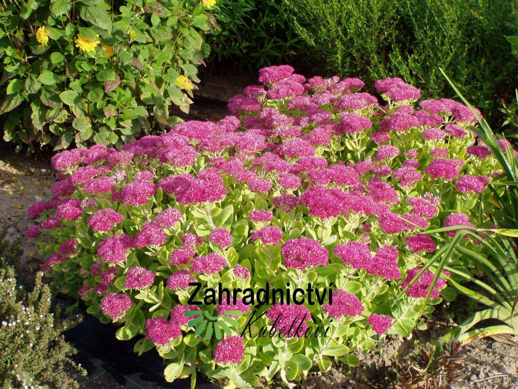 Sedum spectabile růžovo fialové