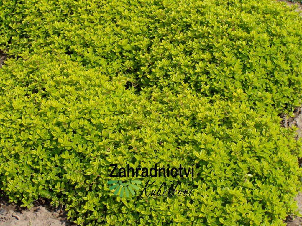 Thymus žlutolistá