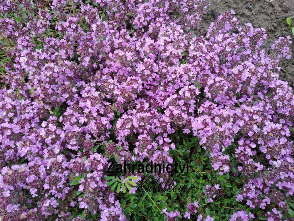 Mateřídouška - Thymus serpyllum 'Rubra'