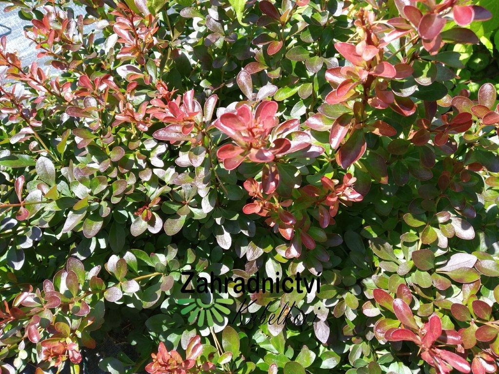Dřišťál - Berberis thunbergii 'Atropurpurea Nana' 1 l