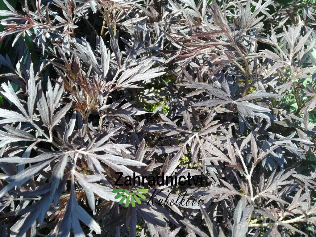 Černý bez - Sambucus nigra 'Black Lace'