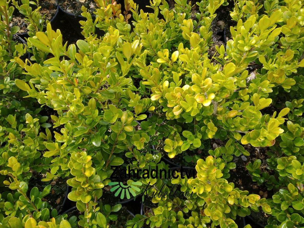 Buxus - Buxus microphylla 'Faulkner'