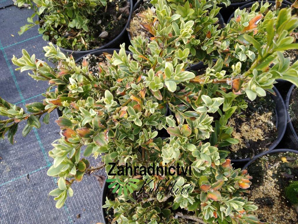 Buxus - Buxus sempervirens 'Argenteomarginata'