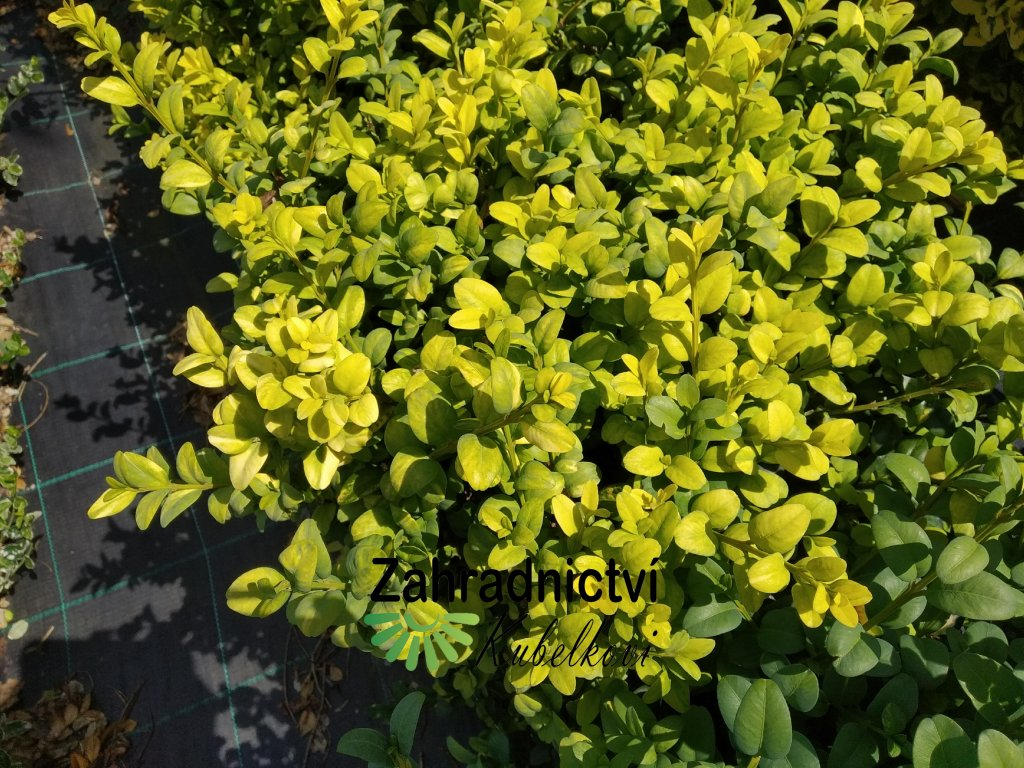 Buxus - Buxus sempervirens 'Aureovariegata'