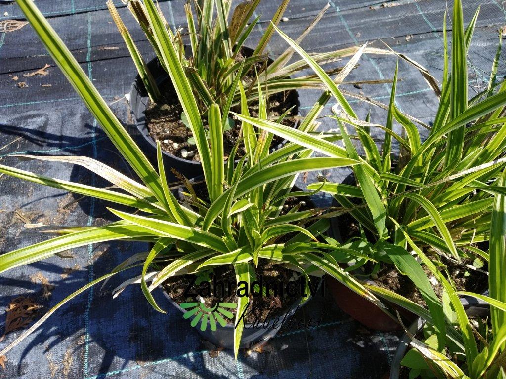 Ostřice japonská - Carex morrowii 'Variegata'