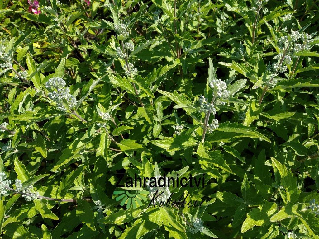 Ořechokřídlec clandonský - Caryopteris clandonensis 'Kew Blue'