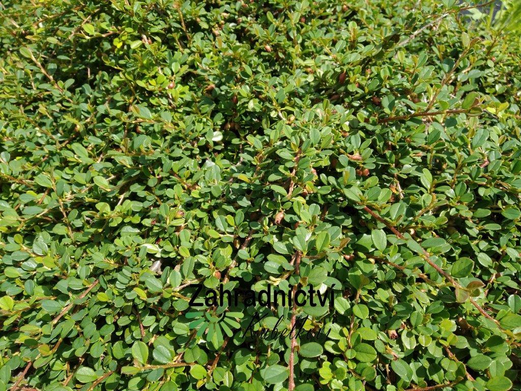 Skalník - Cotoneaster microphyllus 'Schneiderii'