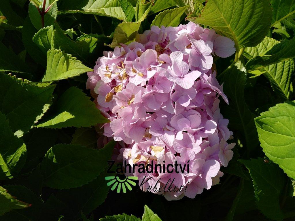 Hortenzie - Hydrangea macrophylla 'Freudenstein' 3 l