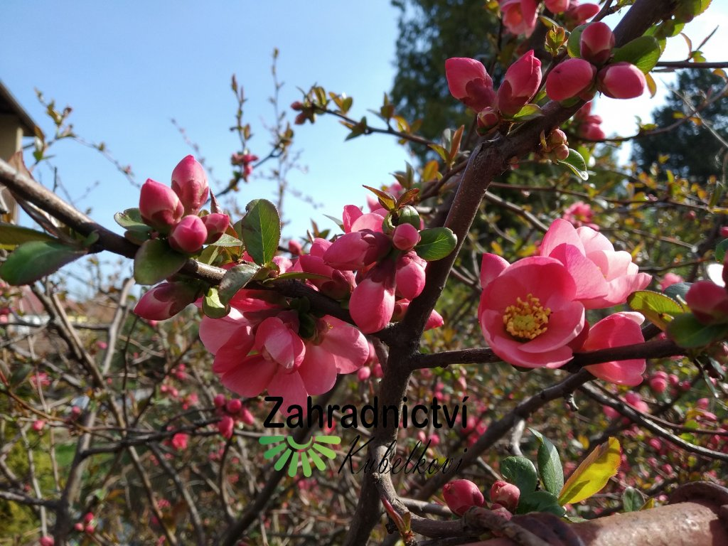 Kdoulovec - Chaenomeles x superba 'Pink Lady'