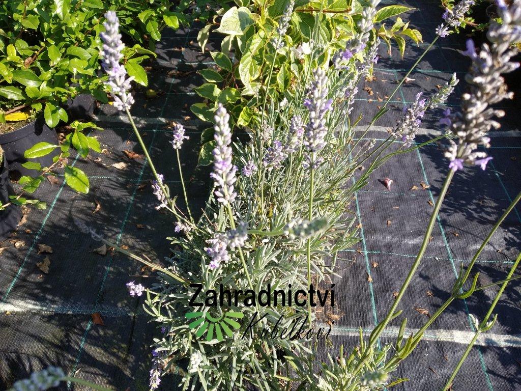 Levandule - Lavandula angustifolia 'Mustead' 1 l