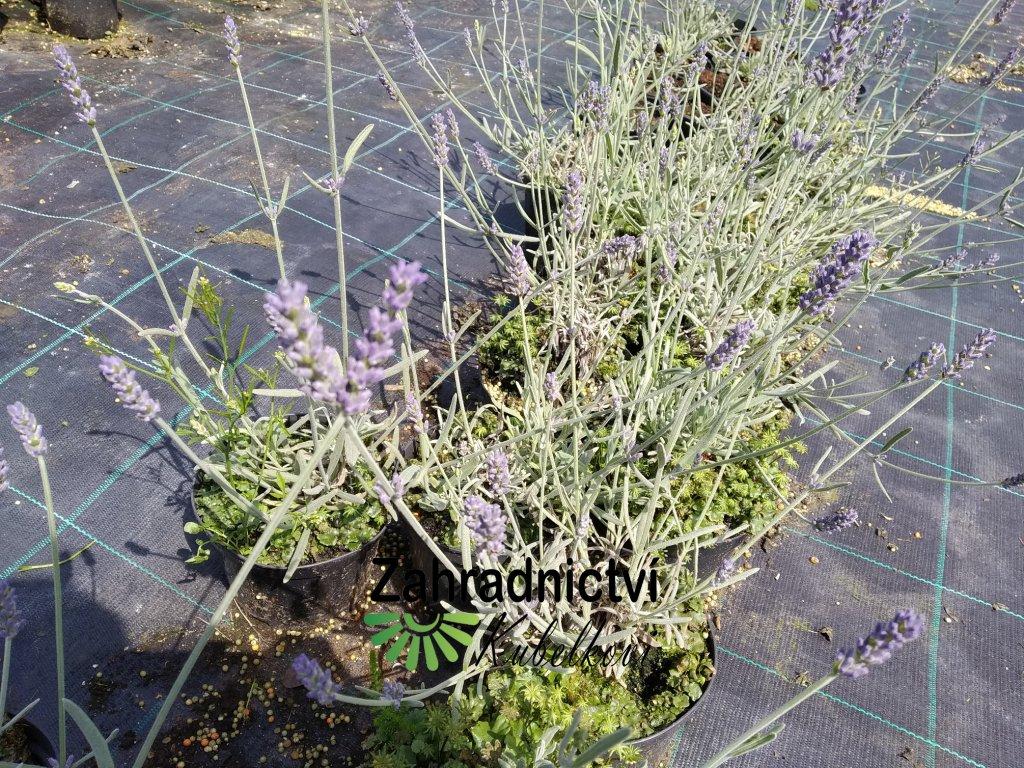 Levandule - Lavandula angustifolia 'Richard Gray' 1 l