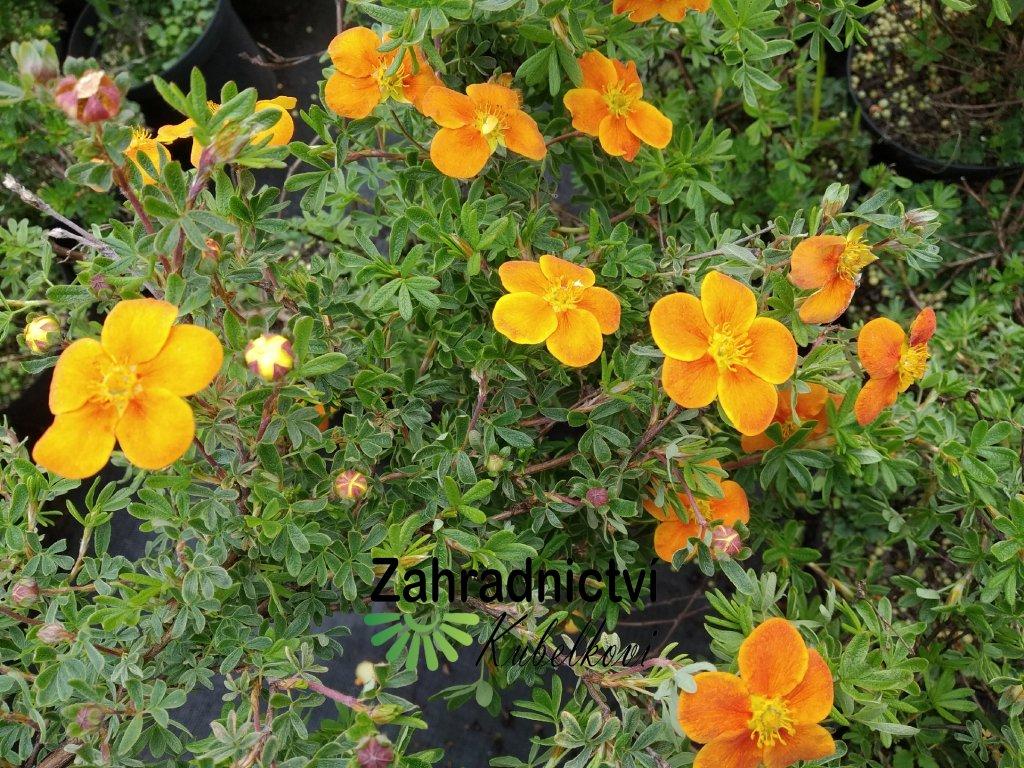 Mochna křovitá - Potentilla fruticosa 'Hopleys Orange' 1 l