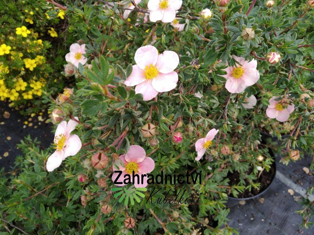 Mochna křovitá - Potentilla fruticosa 'Pink Queen' 2 l