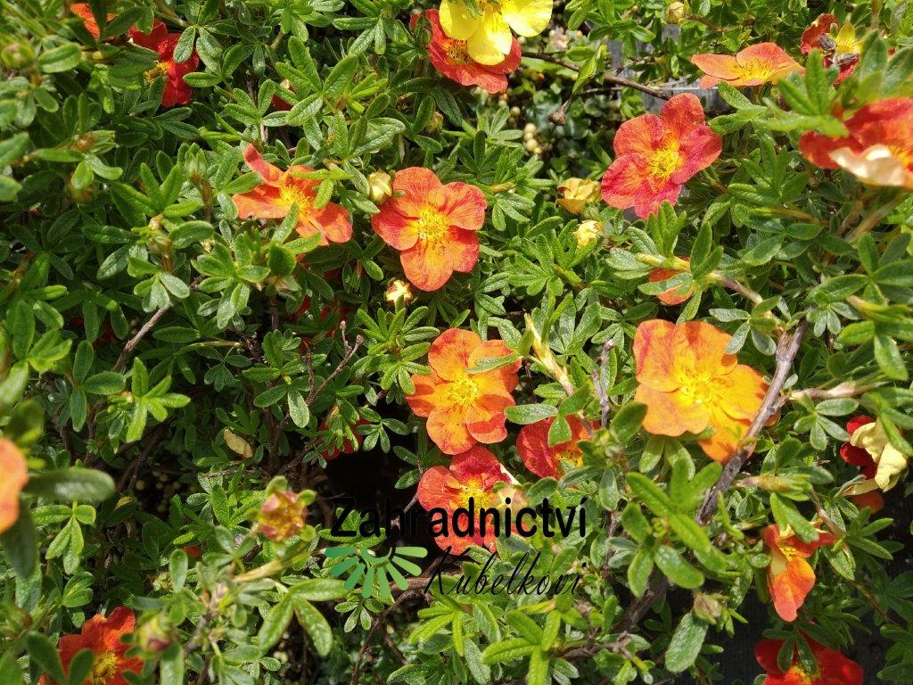 Mochna křovitá - Potentilla fruticosa 'Red Ace' 1 l