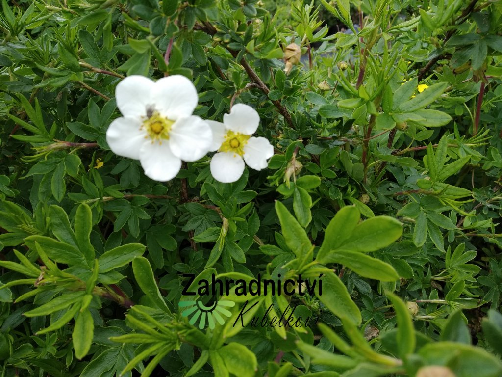 Mochna křovitá - Potentilla fruticosa 'Snowflake' 1 l