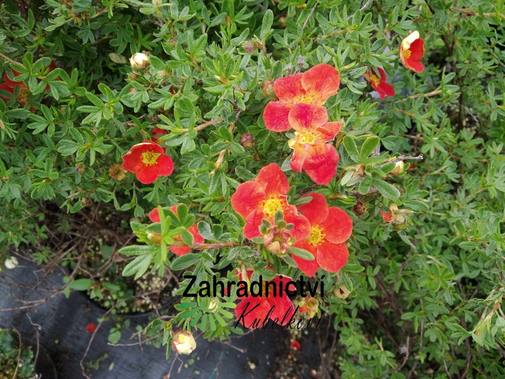 Mochna křovitá - Potentilla fruticosa 'Super Red'