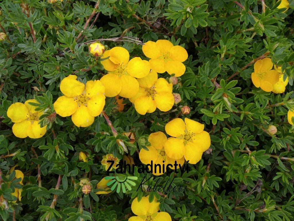 Mochna křovitá - Potentilla fruticosa 'Tangerine' 1 l