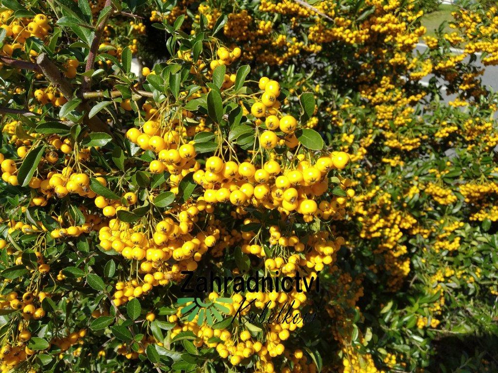 Hlohyně - Pyracantha coccinea 'Golden Charmer'