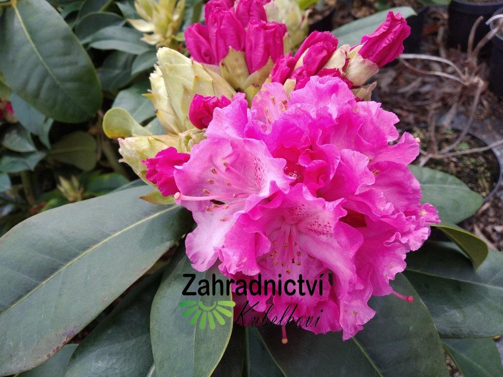 Pěnišník - Rhododendron 'Germania' 2 l