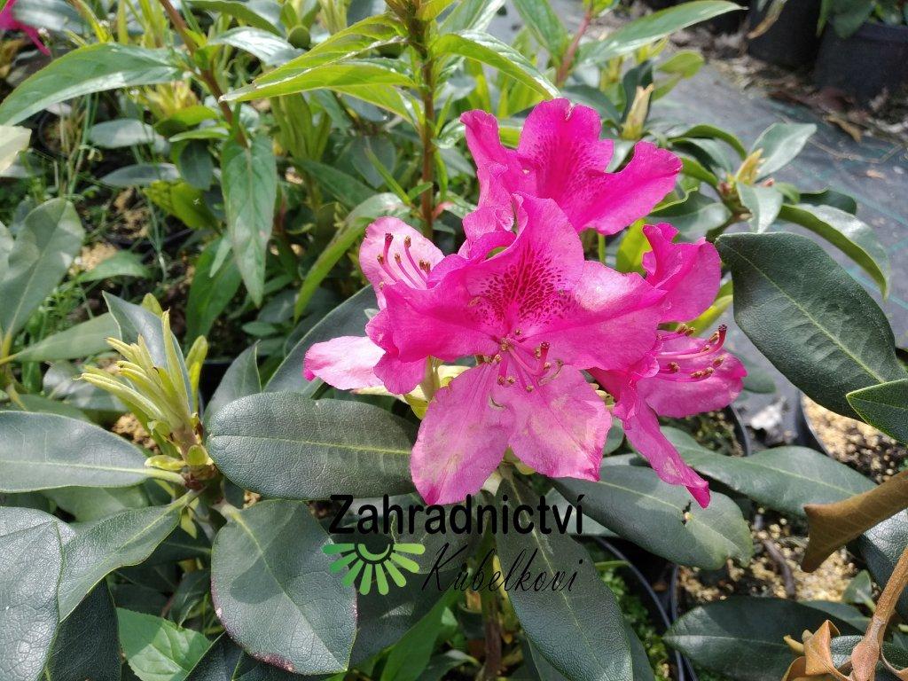 Pěnišník - Rhododendron 'Nova Zembla' 2 l